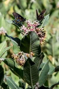 The reserve is home to more than 140 different wildlife species. Here, two pipevine swallowtails drink nectar from a milkweed plant.