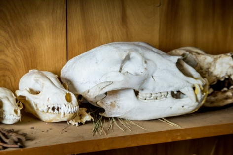 Skulls that have been found on the reserve.